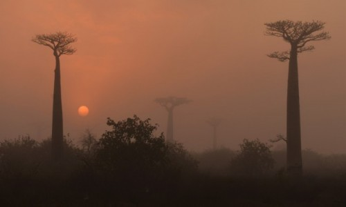 MADAGASKAR / Zachodni / Avenue des Baobabs / Au lever du jour