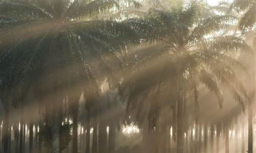Zdjecie MADAGASKAR / Fianarantsoa / w drodze / las palmas...