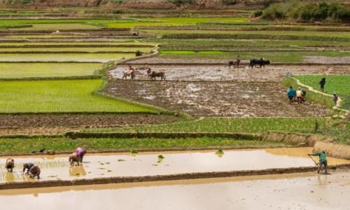 Zdjęcie MADAGASKAR / Madagaskar centralny / okolice Ambatofitorahana / Uprawa poletek