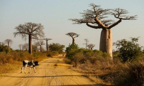 MADAGASKAR / Menabe / w pobliżu alei baobabów / Pod baobabami