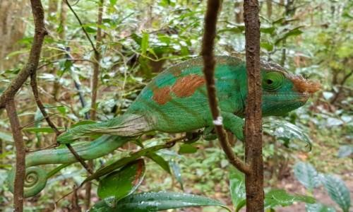 MADAGASKAR / Madagaskar centralny / Reserva Analamazoatra / Obserwuję was!