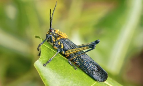 MADAGASKAR / Pólnocny Wschód / Parc National de Masoala / Le sauterelle locale ;-)