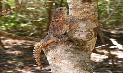 MADAGASKAR / Morondawa / Camping Lovers Baobab / Jaszczur