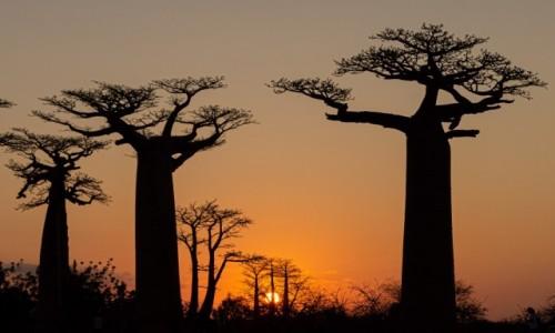 MADAGASKAR / Menabe / Aleja baobabów / O zachodzie