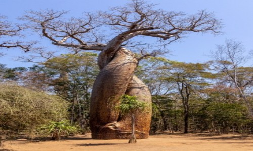 Zdjecie MADAGASKAR / Menabe / / / Z okazji dnia drzewa