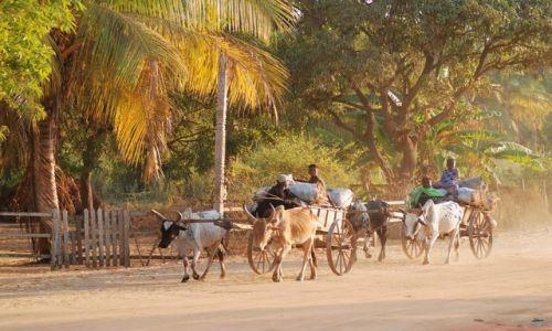 Zdjęcie MADAGASKAR / - / okolice Morondawy / Powozy