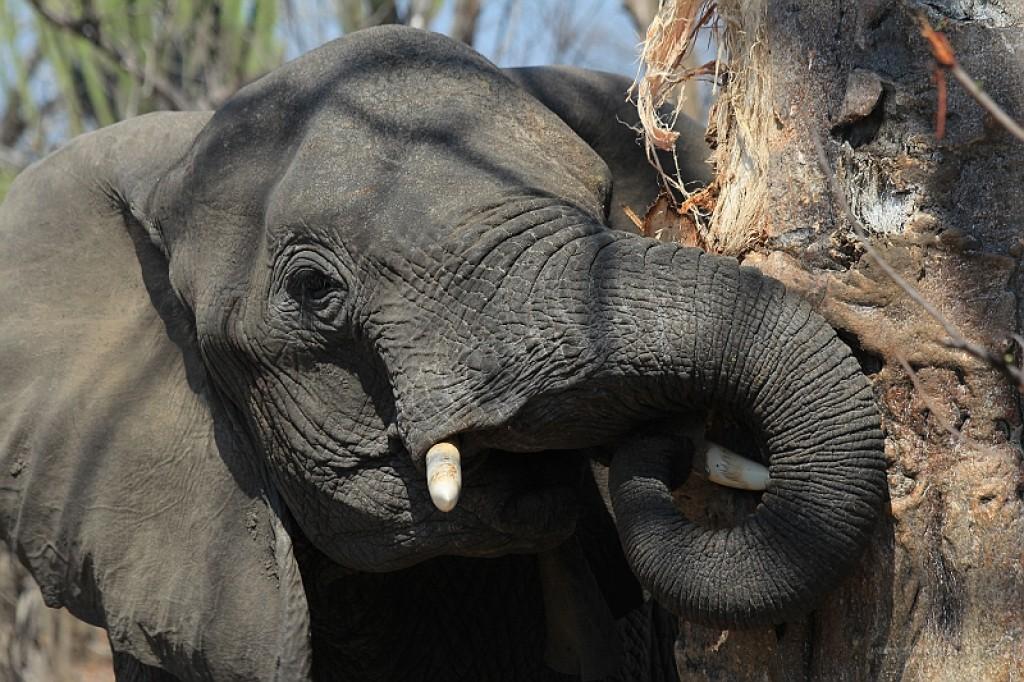 Zdjęcia: Malawi, Malawi, Słoń i baobab w Liwonde National Park, MALAWI