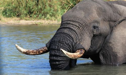MALAWI / Liwonde National Park / Liwonde National Park / W kąpieli