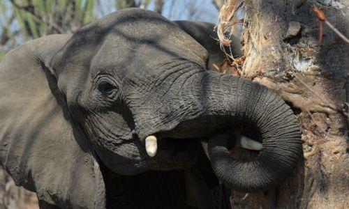 Zdjęcie MALAWI / Malawi / Malawi / Słoń i baobab w Liwonde National Park