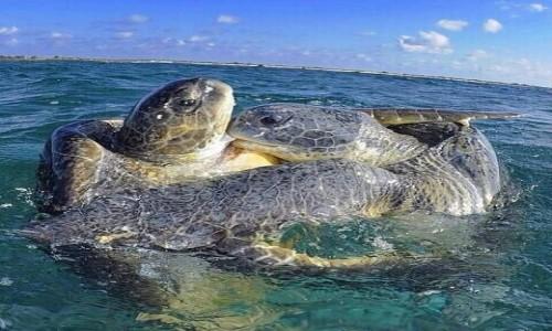 Zdjecie MALEDIWY / Malediwy / Hilhmandhoo / żółwie