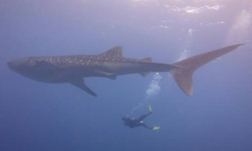 Zdjecie MALEDIWY / hilmandhoo / Origami Inn / Popołudniowe nurkowanie