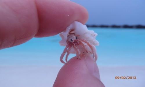 Zdjęcie MALEDIWY / xxx / Malediwy / Krabik