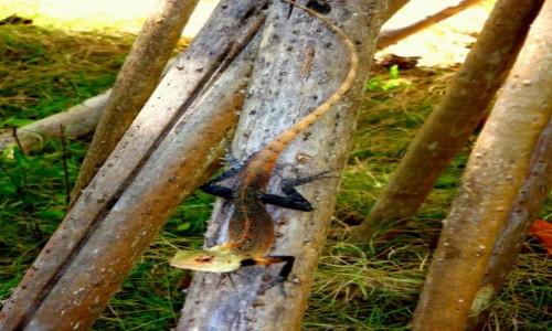 Zdjęcie MALEDIWY / xxx / Paradise Island / Jaszczurka z bardzo długim ogonem