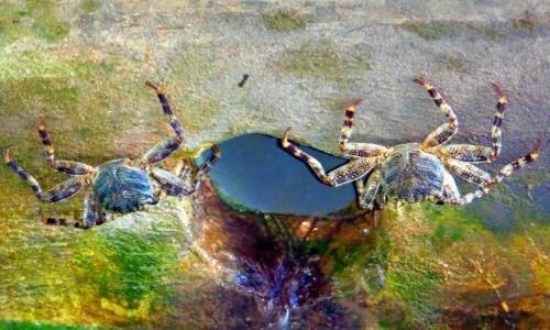 Zdjecie MALEDIWY / xxx / wyspa Bantis / Kraby wkomponowane w otoczenie