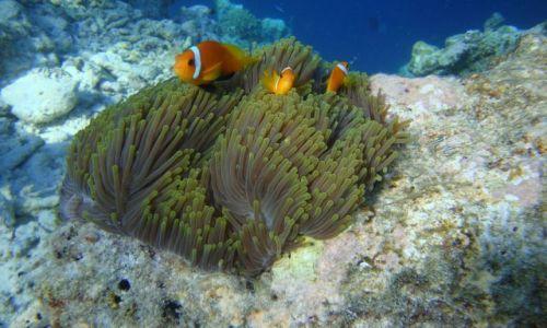Zdjęcie MALEDIWY / brak / Wyspa Biyadhoo / Nemo z kumplami?