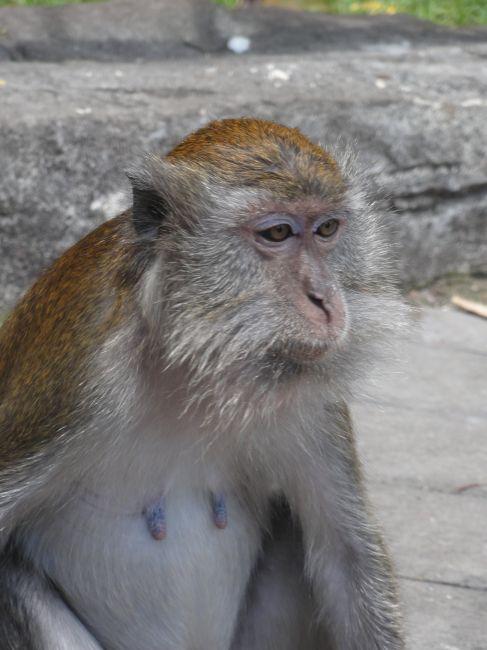 Zdjęcia: Batu Caves, Kuala Lumpur, makak..., MALEZJA