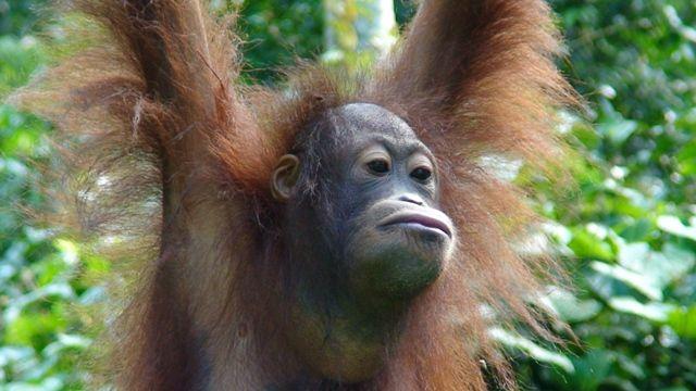Zdjęcia: Sepilok, Borneo, Mieszkaniec Borneo, MALEZJA