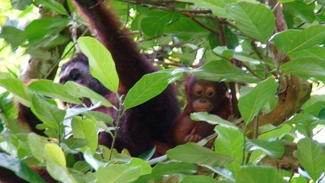 Zdjęcia: Borneo, Borneo, ukryci, MALEZJA