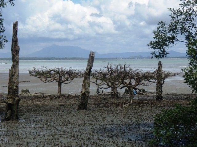 Zdj�cia: Bako, Borneo, namorzyny w Bako, MALEZJA