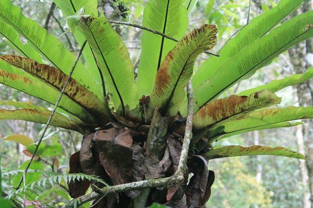 Zdjęcia: Borneo, Park Kinabalu, MALEZJA