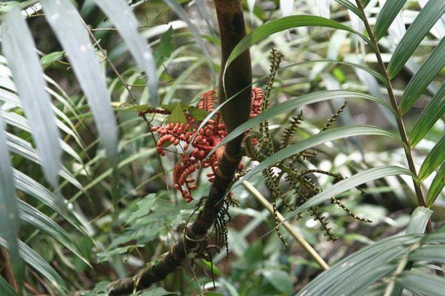 Zdjęcia: Borneo, Park Narodowy Kinabalu_, MALEZJA