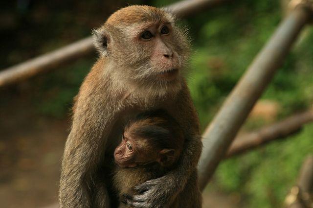 Zdjęcia: batu caves, Małpia seria7, MALEZJA