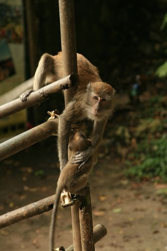 Zdjęcia: batu caves, Małpia seria9, MALEZJA