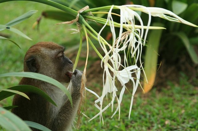 Zdj�cia: Taman Negara, Po�eracz Kwiatk�w, MALEZJA