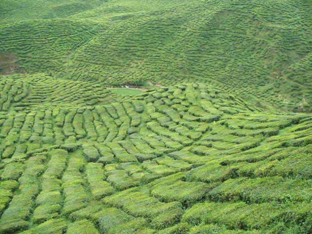 Zdjęcia: Wzgórza Cameron, północna Malezja, plantacja herbaty, MALEZJA