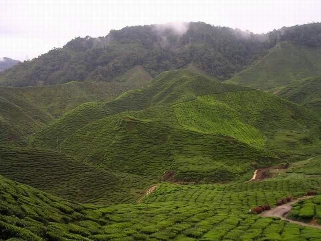 "Zdjęcia: Plantacja Herbaty ""Cameron Valley"", Cameron Highlands, MALEZJA"