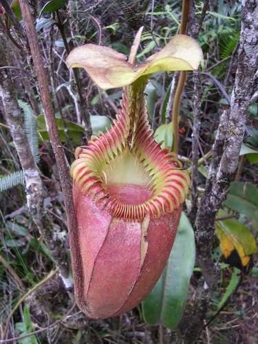 Zdjęcia: Kinabalu Park, Sabah, Borneo, Owadożerny kwiat, MALEZJA