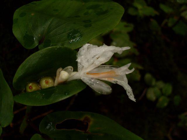 Zdjęcia: Cameron Highlands, Pahang, ... łzy..., MALEZJA