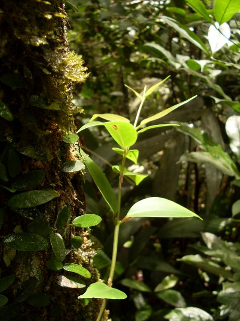 Zdjęcia: Cameron Highlands, Pahang, ... promyk nadzieji..., MALEZJA