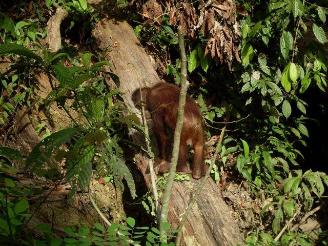 Zdjęcia: Borneo-Sepilok, Sabah, ... idę do domu...., MALEZJA