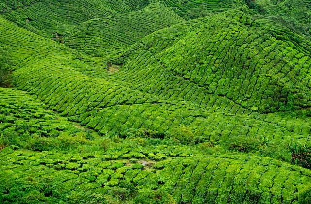 Zdjęcia: Plantacje herbaty w Cameron Highlands, Cameron Highlands, Zielono mi ;-), MALEZJA