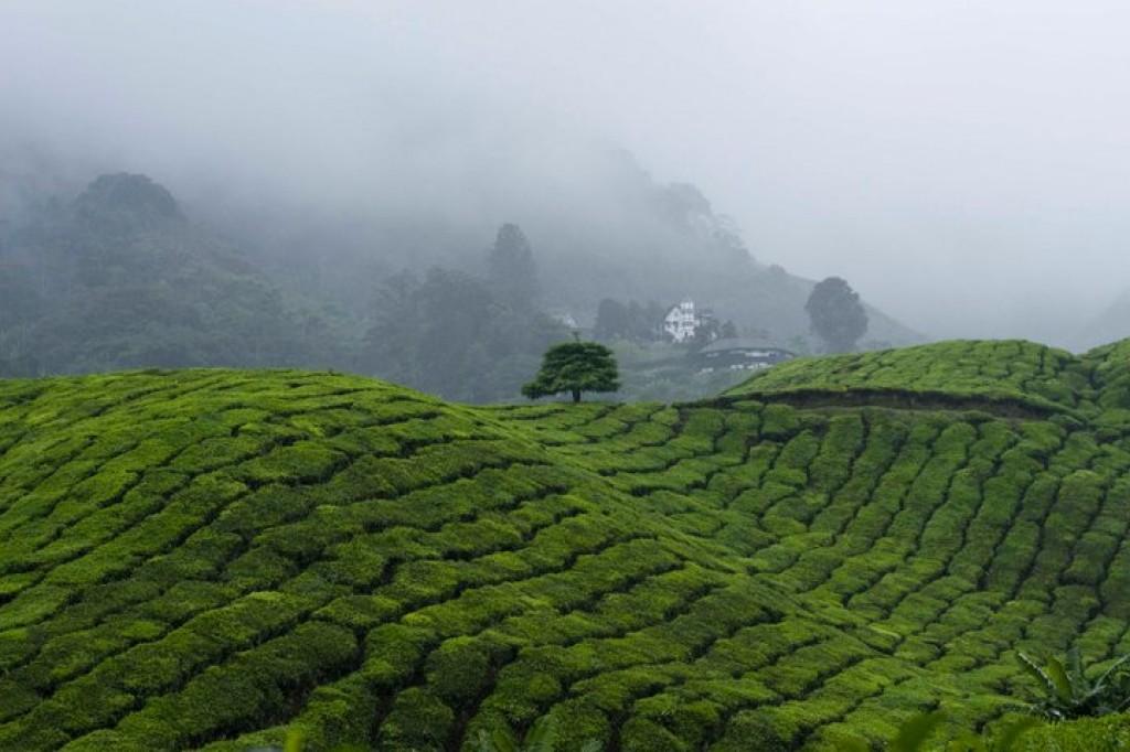 Zdjęcia: BOH, Cameron Highland, plantacje herbaty, MALEZJA