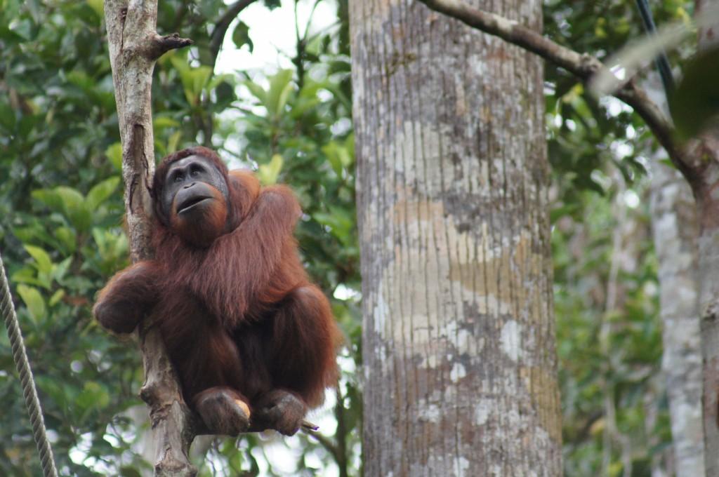 Zdj�cia: Semenggoh , Borneo/Sarawak, orangutan, MALEZJA