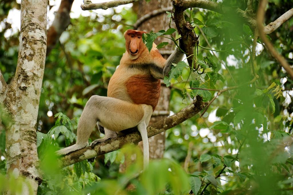 Zdjęcia: Kinabatangan , Borneo, Sabah, Nosacz (proposcic monkey), MALEZJA