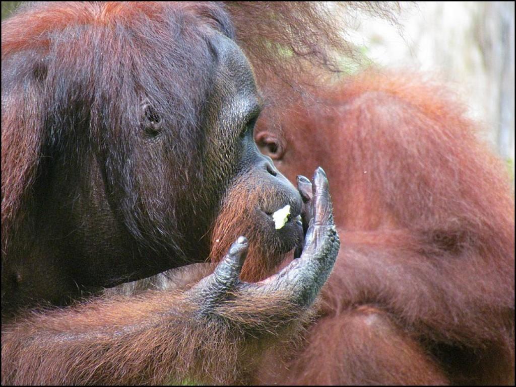 Zdjęcia: Sepilok, Borneo, Leśni ludzie z Borneo, MALEZJA