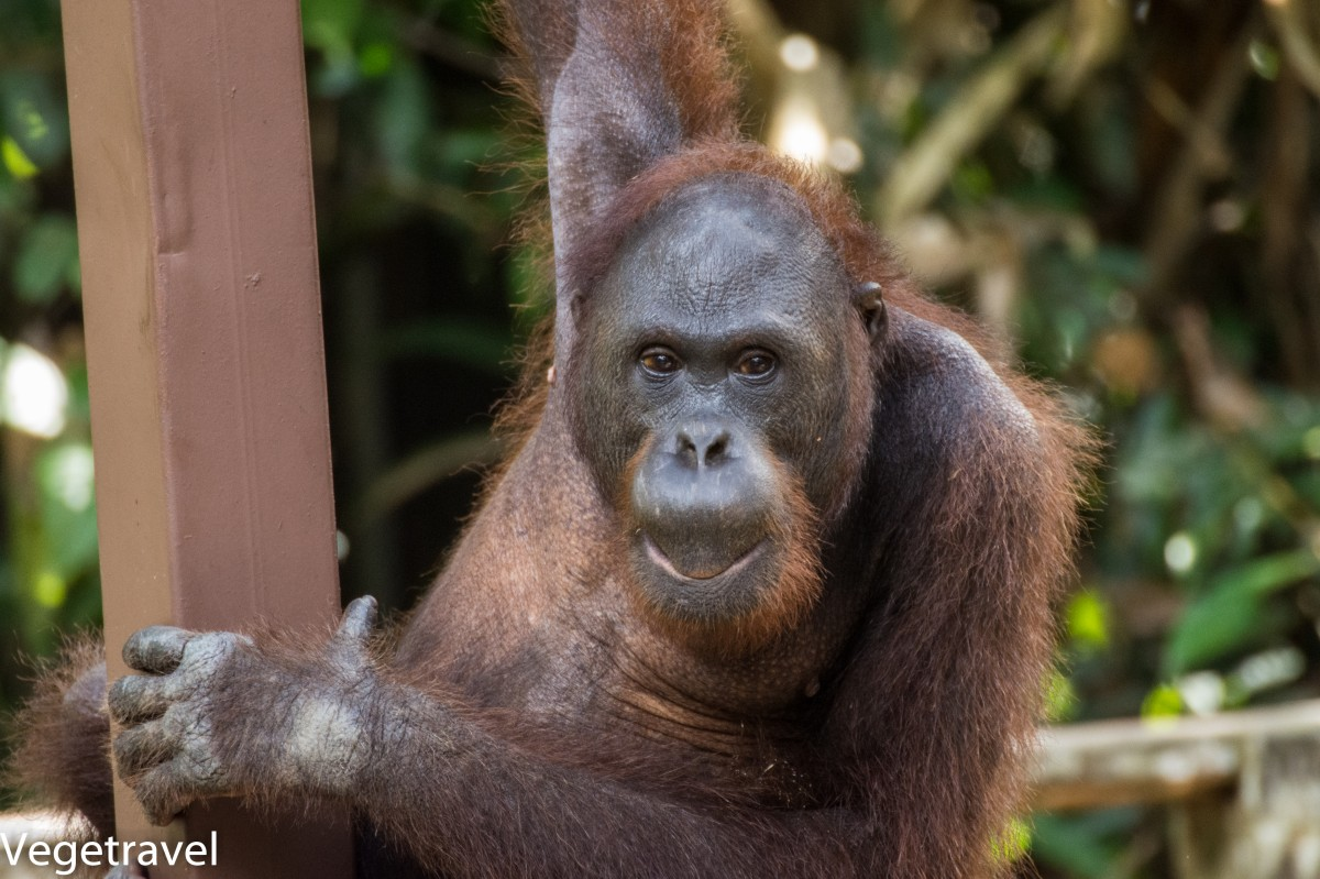 Zdjęcia: Sepilok Orangutan Rehabilitation Centre, Sabah, Ceria - niegrzeczny orangutan :), MALEZJA