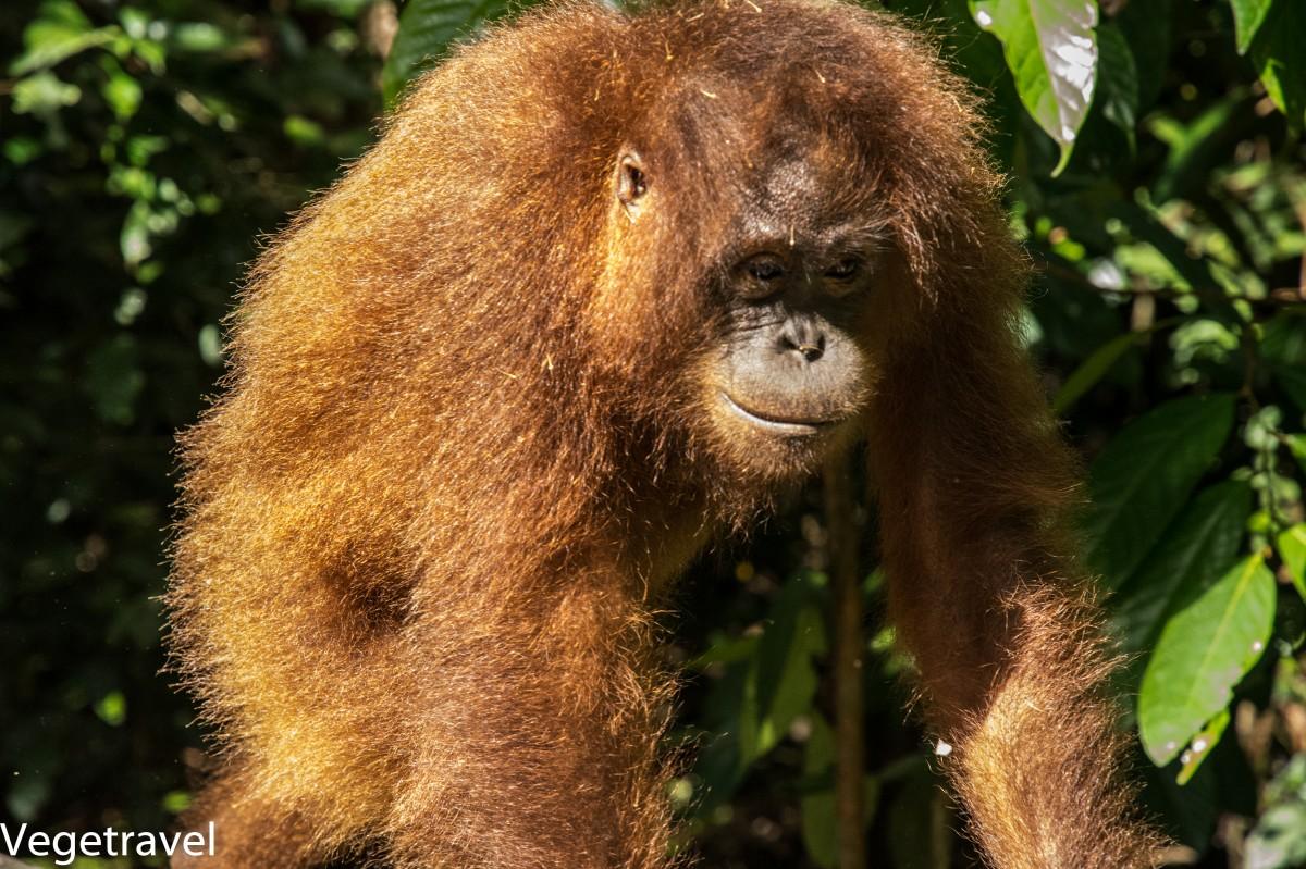 Zdjęcia: Sepilok Orangutan Rehabilitation Centre, Sabah, Kacy - wygląda sympatycznie, tylko wygląda ..., MALEZJA