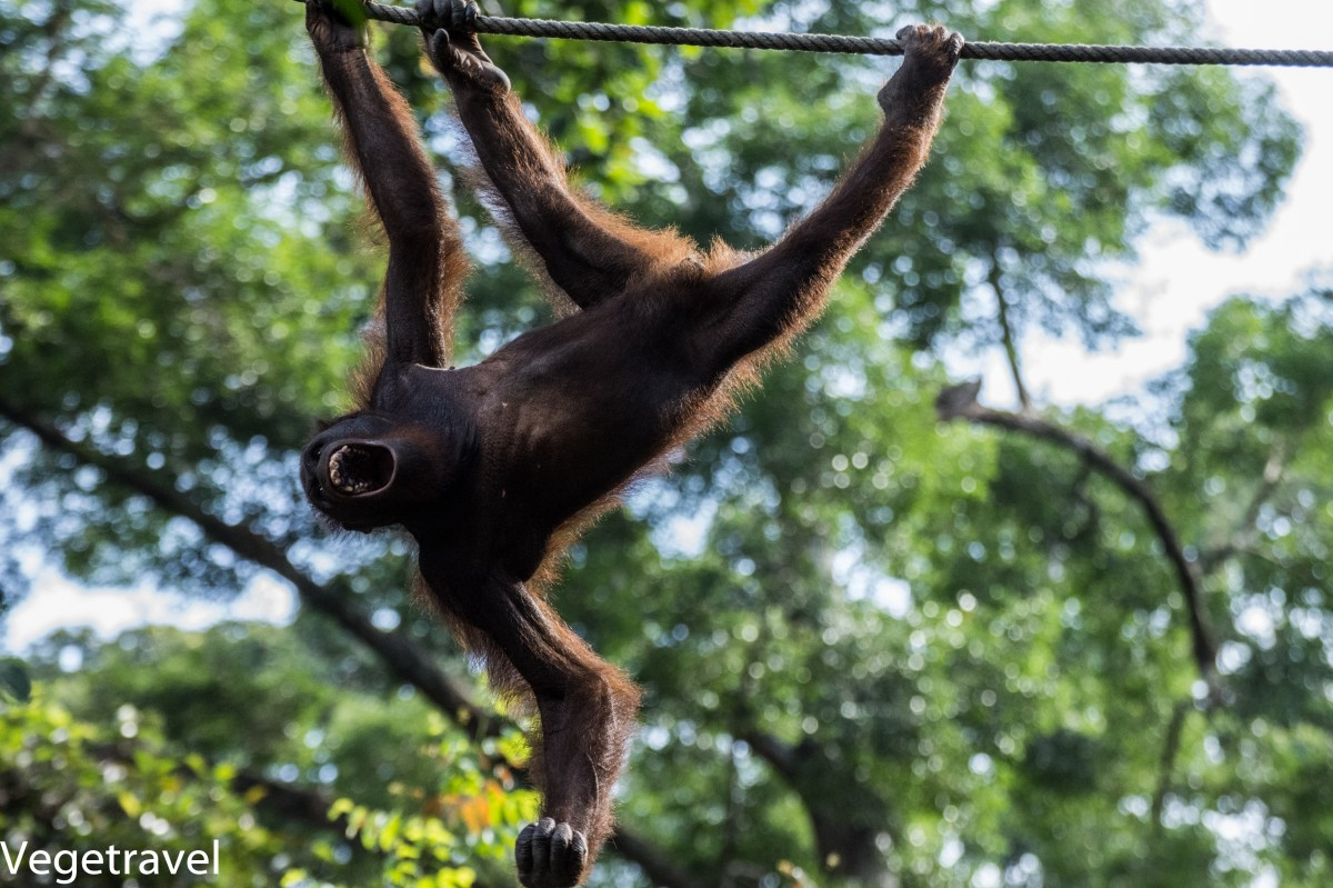 Zdjęcia: Sepilok Orangutan Rehabilitation Centre, Sabah, Ceria - zły orangutan :), MALEZJA