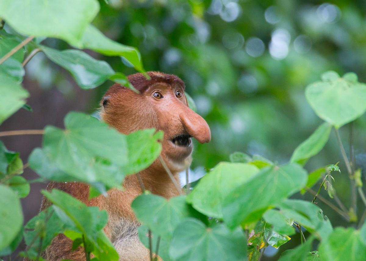 Zdjęcia: NP Bako, Borneo, Mieszkaniec dżungli, MALEZJA