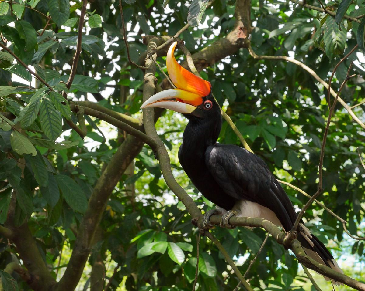 Zdjęcia: Borneo, Borneo, Dzioborożec żałobny, MALEZJA