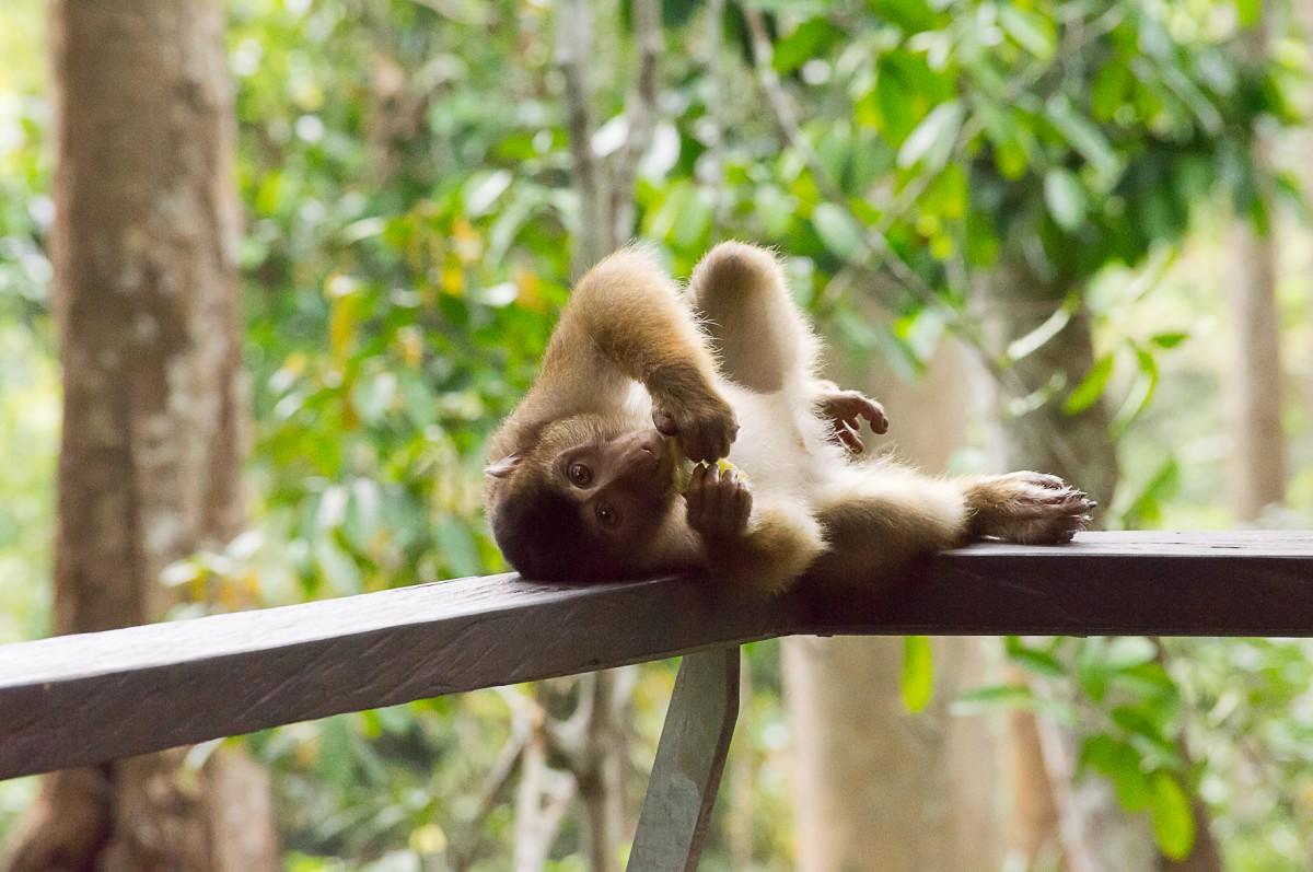 Zdjęcia: Sepilok, Borneo, Jeść można w każdej pozycji, MALEZJA