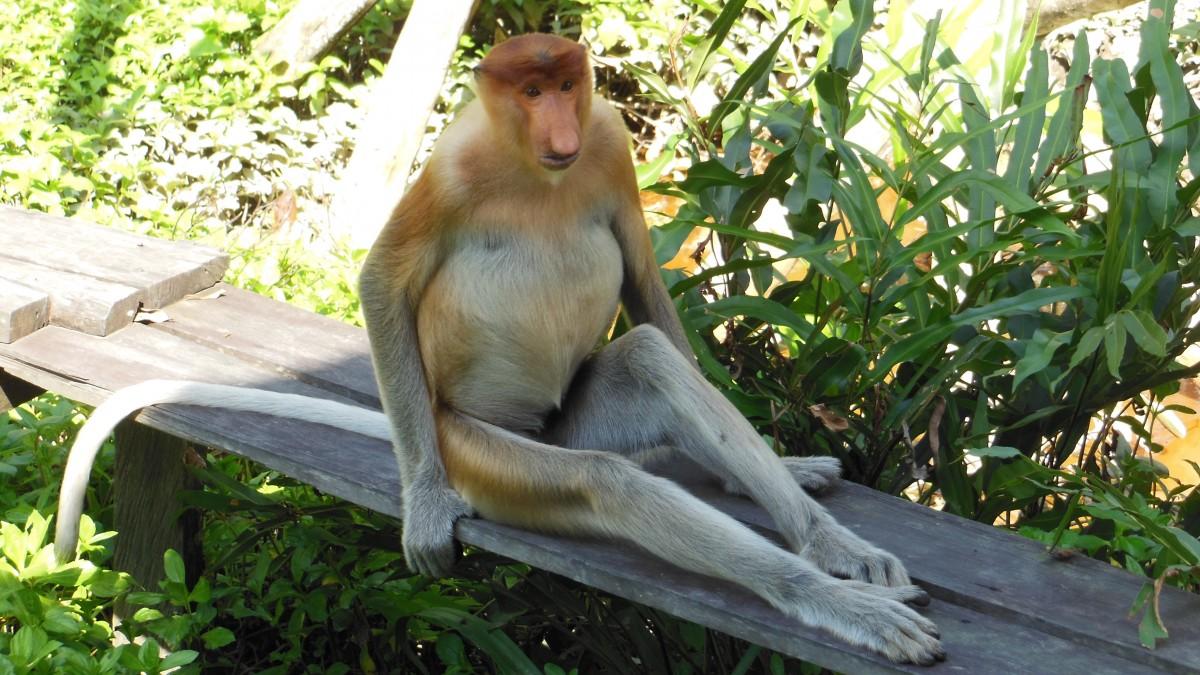 Zdjęcia: Labuk Bay Proboscis Monkey Sanctuary, Borneo, Sabah, Borneo, Semporna, MALEZJA