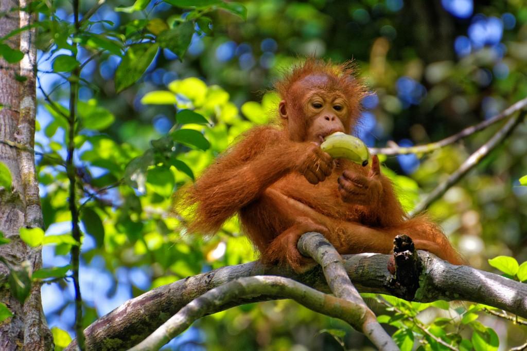 Zdjęcia: Semenggoh, Borneo, Śniadanie, MALEZJA