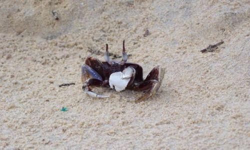 Zdjecie MALEZJA / Tioman / plaża Juara / krab