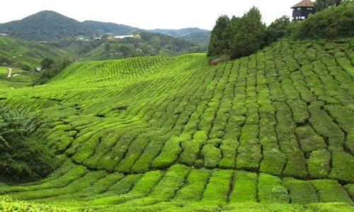 Zdjecie MALEZJA / Cameron Highlands / fabryka BOH / c.d. pola herbaciane