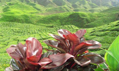 Zdjecie MALEZJA / Cameron Highlands / Taman Ratha / c.d. pola herbaciane...